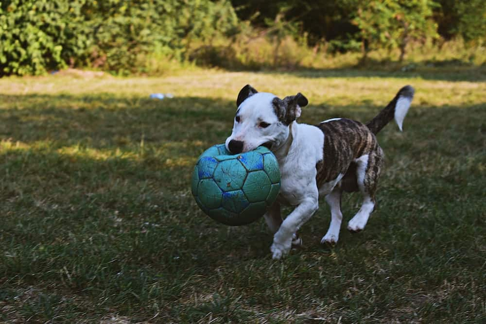 New York City is home to many dog parks, that provide the perfect spot for unleashed exercise. Here is a list of dog parks in Manhattan.