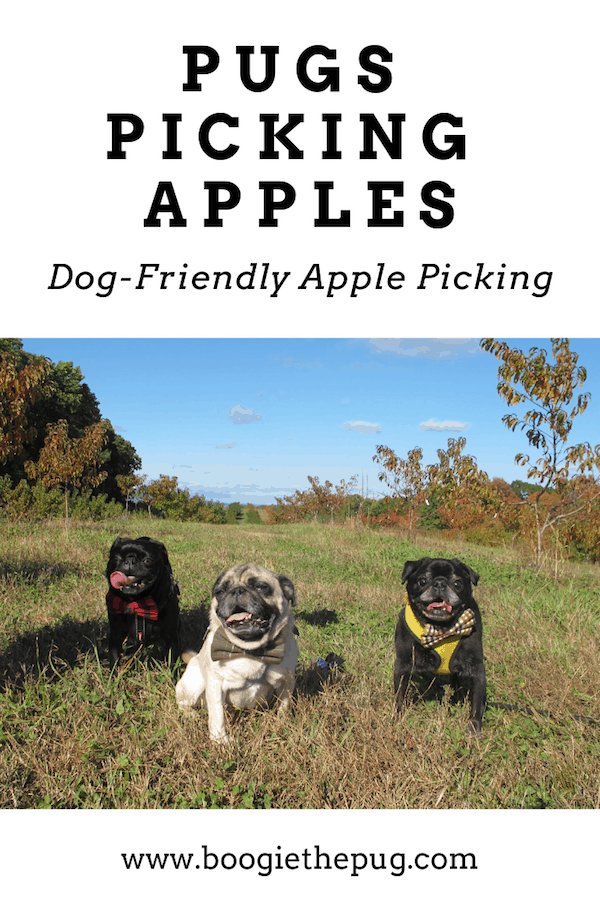 The pugs went apple picking at Wright's Farm in Gardiner, NY. It was a fun filled dog-friendly afternoon of picking apples, pugs, and pies.