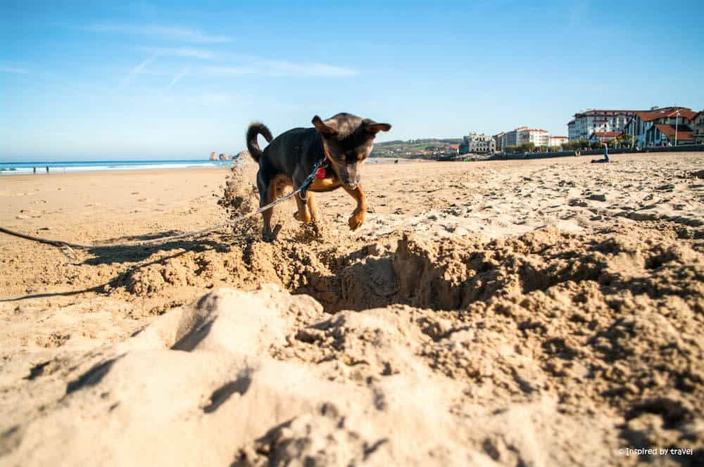A dog digging in the sand in Hendaye, France.