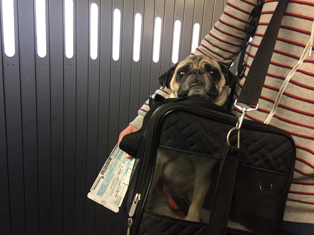 Traveling With Pets Cargo Vs Carry On Vs Baggage Boogie The Pug