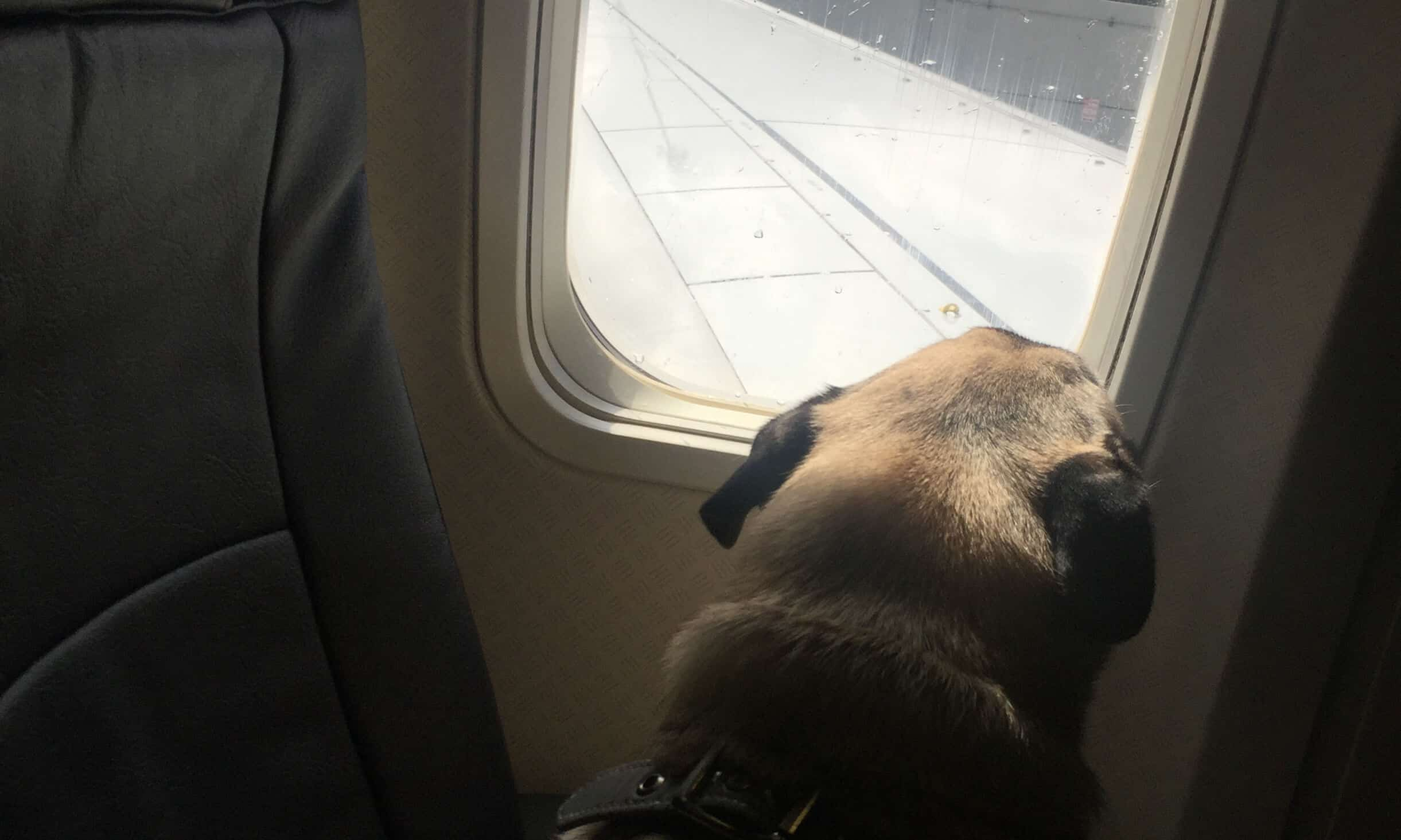 Flying From NYC to Guatemala with Dogs: A Step by Step Guide