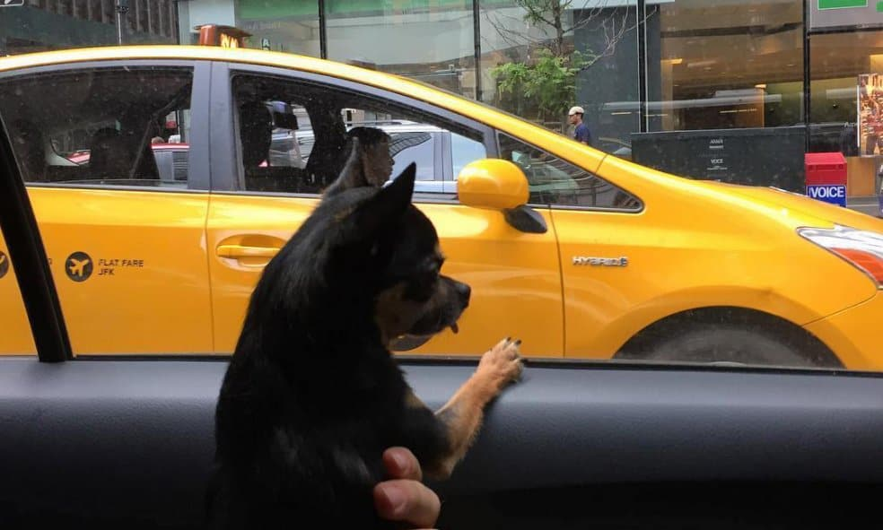A chihuahua looking out the window of a taxi.