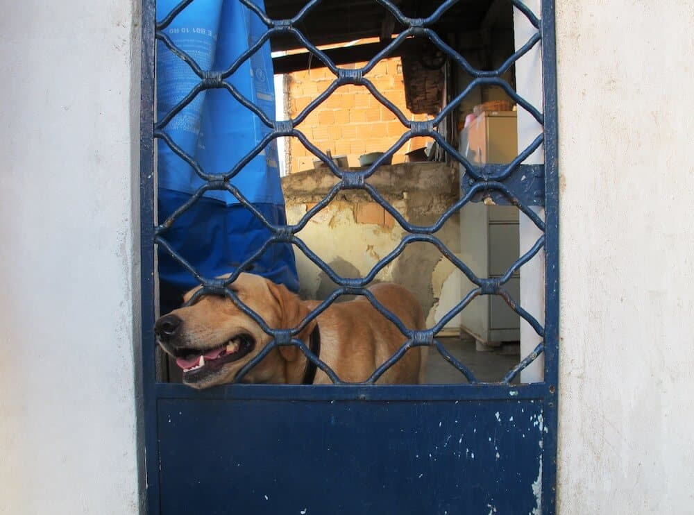 A yellow lab putting his head through a gate.