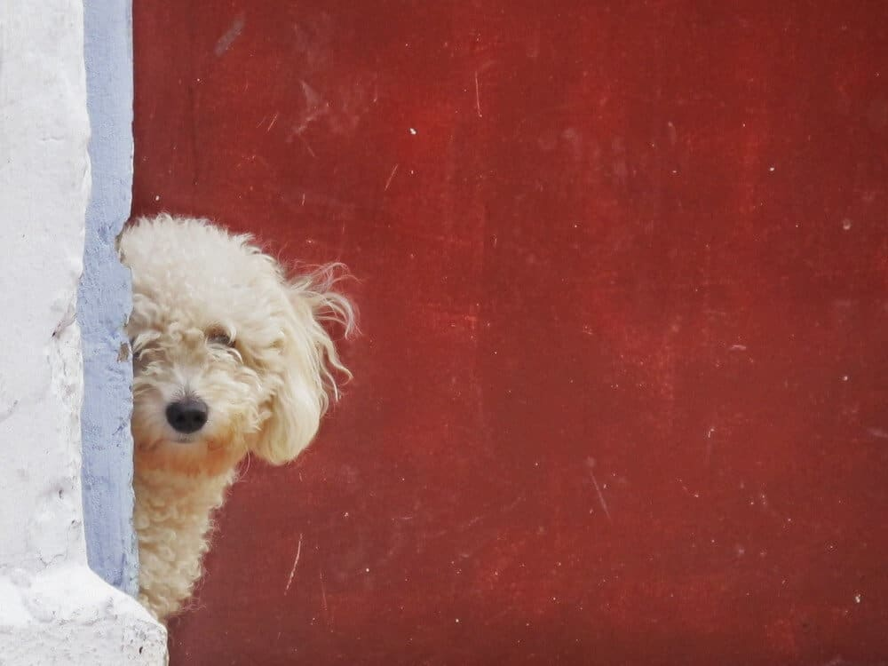 A white poodle in front of a red door.