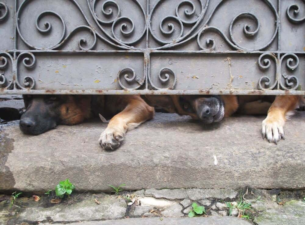 Two German Shepherds peaking through the bottom of a door.