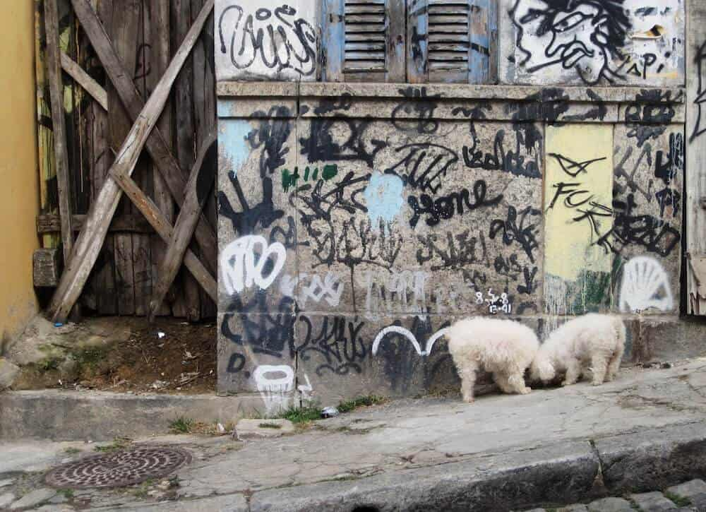 Two poodles standing near graffiti.