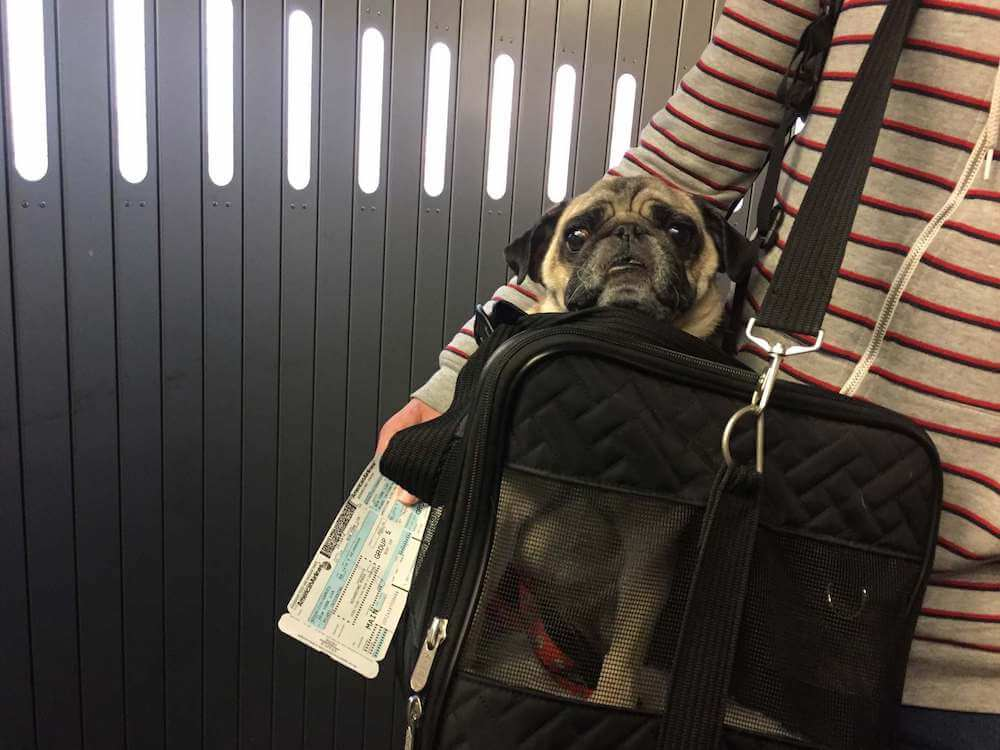 A picture of boogie the pug in his carrier waiting to board a flight.