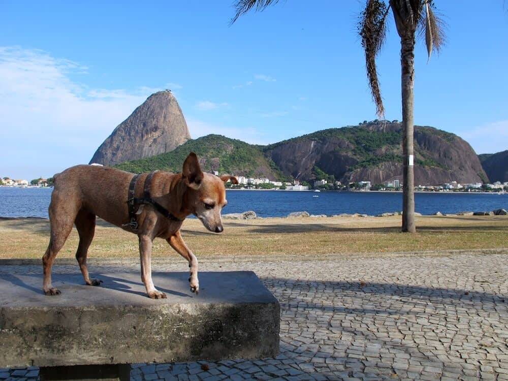 A dog in front of Pao de Acucar in Rio de Janeiro.