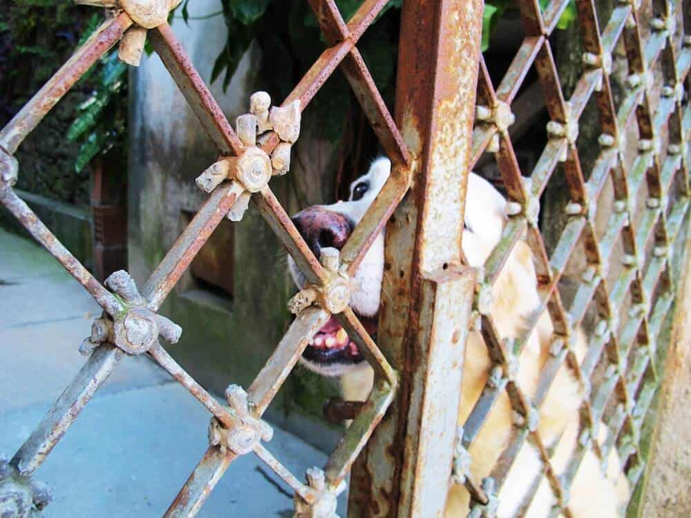 A dog smiling by a gate.