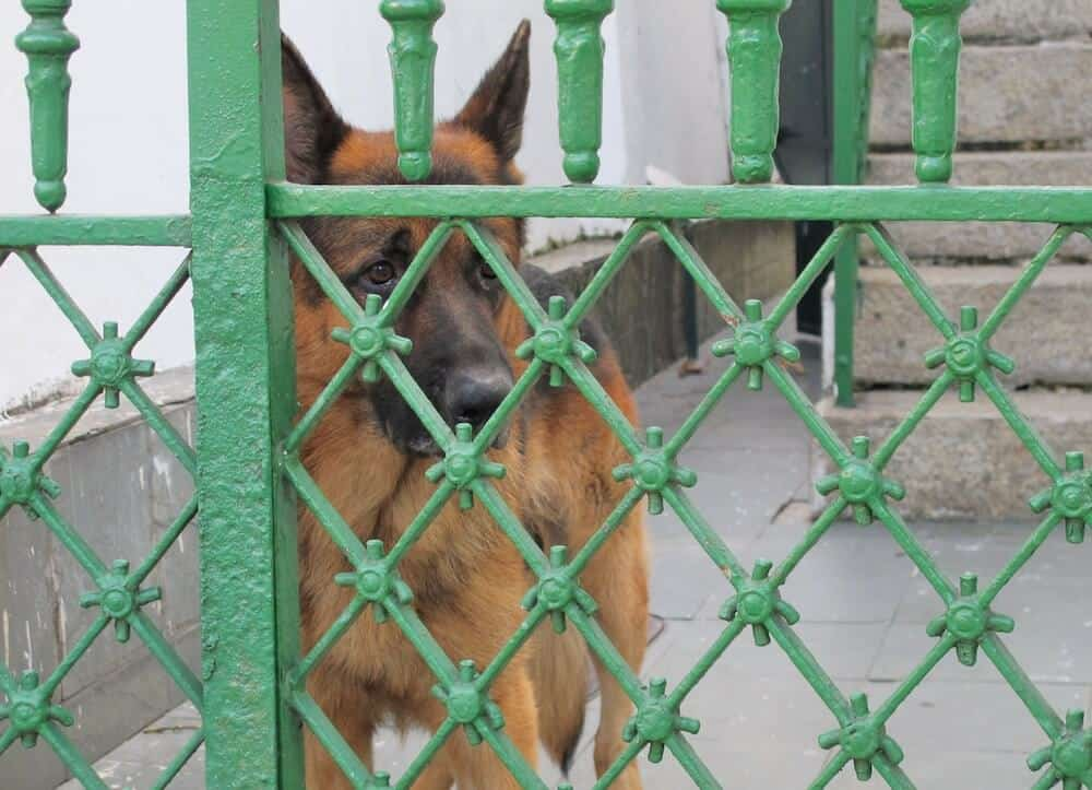 A German Shepherd behind a green gate.