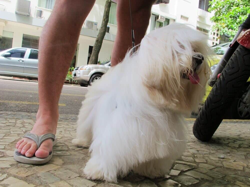 A fluffy white dogs fur blows in the wind.