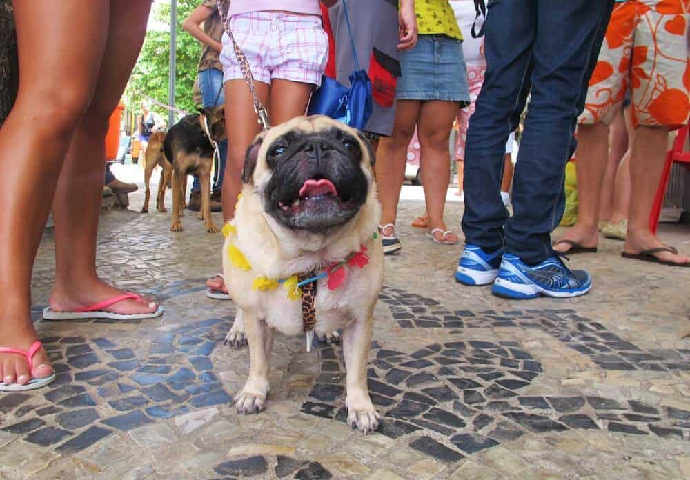 A pug in Copacabana.