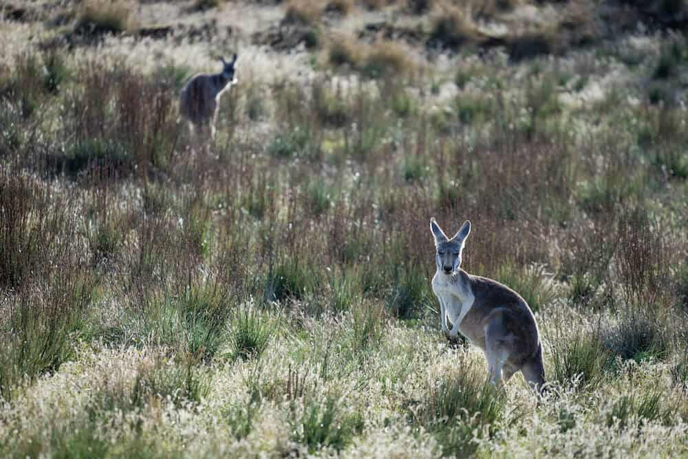 A Kangaroo in South Australia.