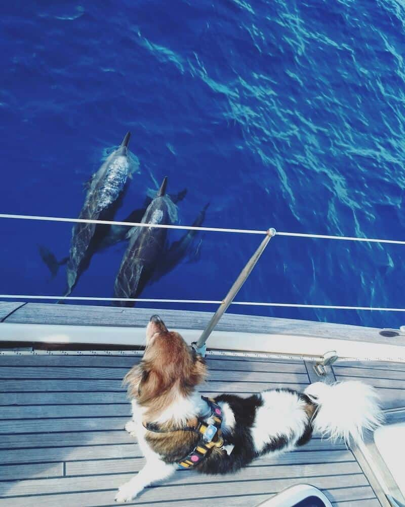 A dog on a sailboat watches dolphins below him.
