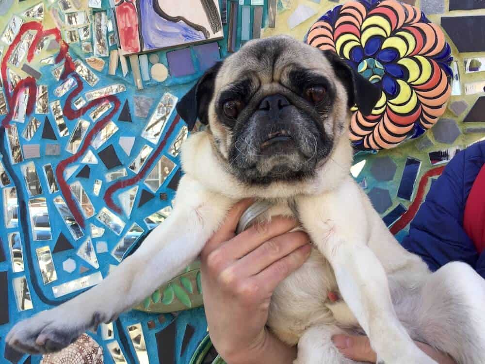 A pug poses in front of the Magic Gardens in Philadelphia.