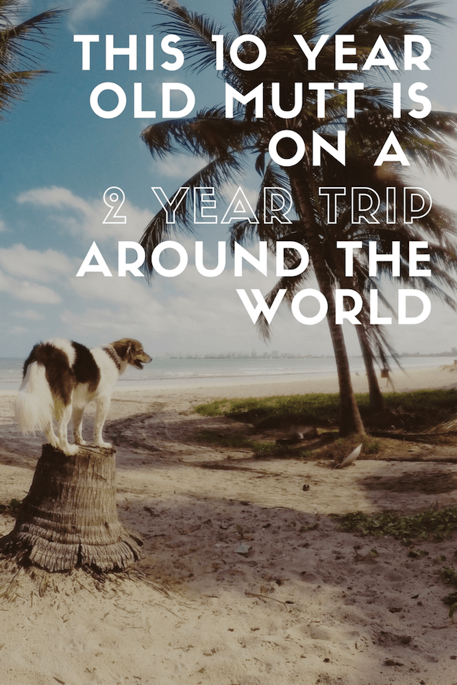 A dog stands on a tree trunk, surrounded by the beach and palm trees.