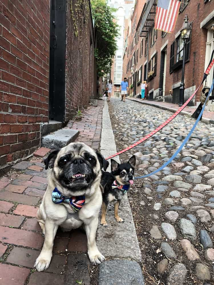 #pugstakeboston - boogie the pug - pet travel blog