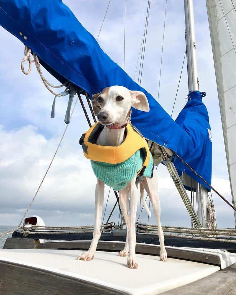 A Greyhound dog in a lifejacket stands aboard a sailboat.
