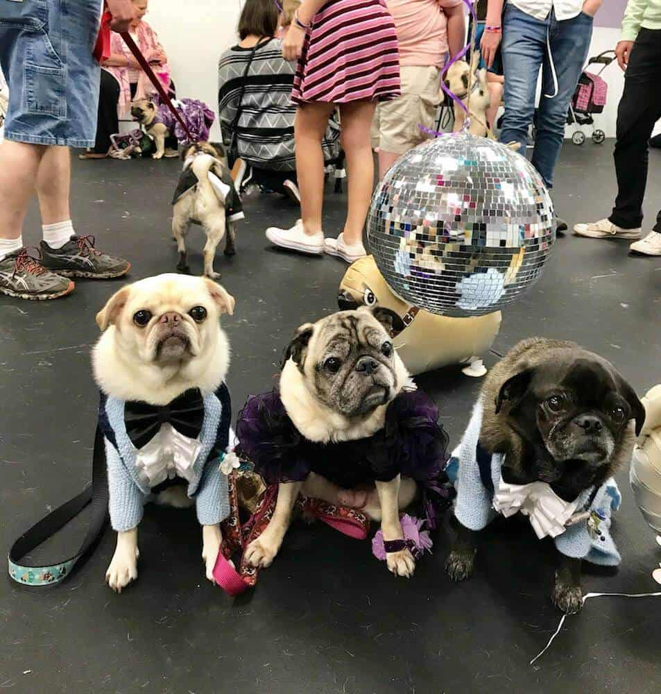 Three dressed up pugs pose in front of a disco ball.