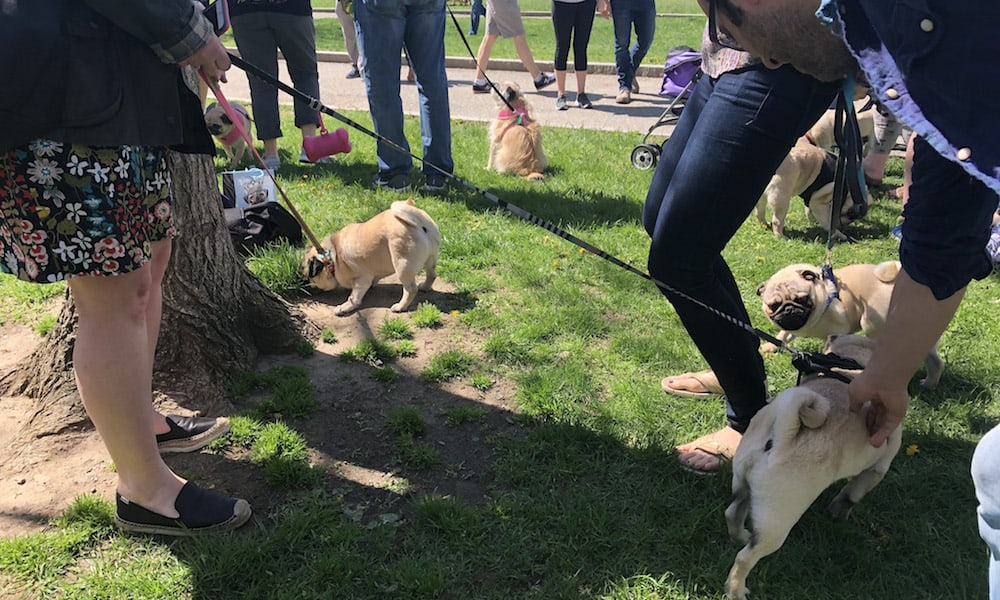All About #PugsTakeBoston