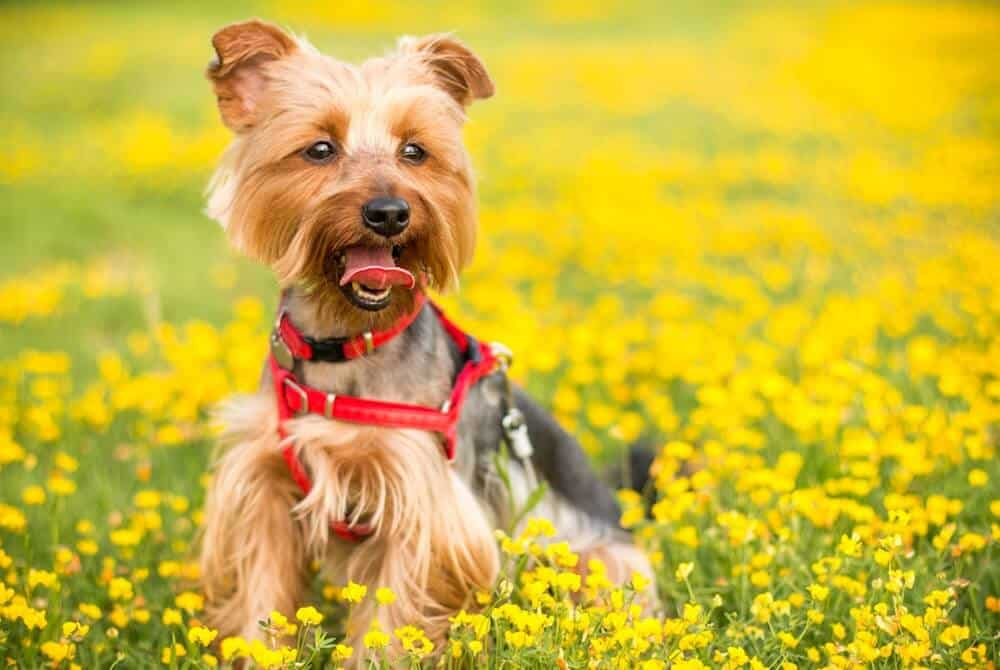 A yorkie smiles in a field of flowers.