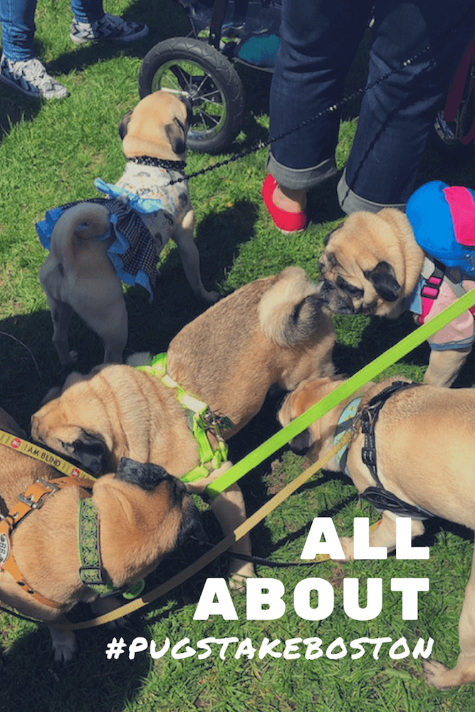 A bunch of pugs sniffing each other in the grass and a Pinterest cover that says All About #PugsTakeBoston