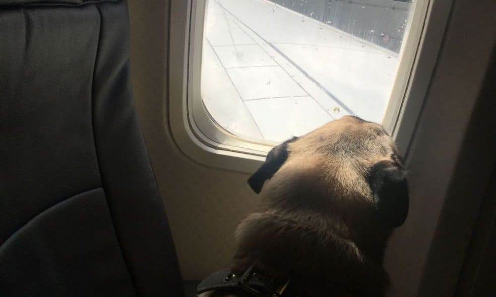 Boogie the pug looks out the window of a plane.