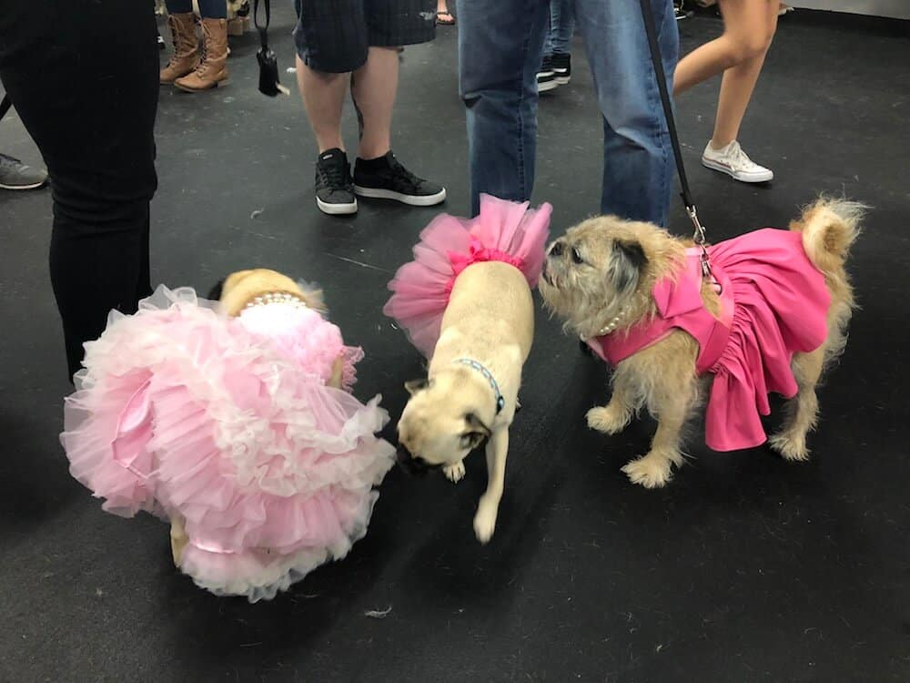 Three female pugs in pink dresses hang out.