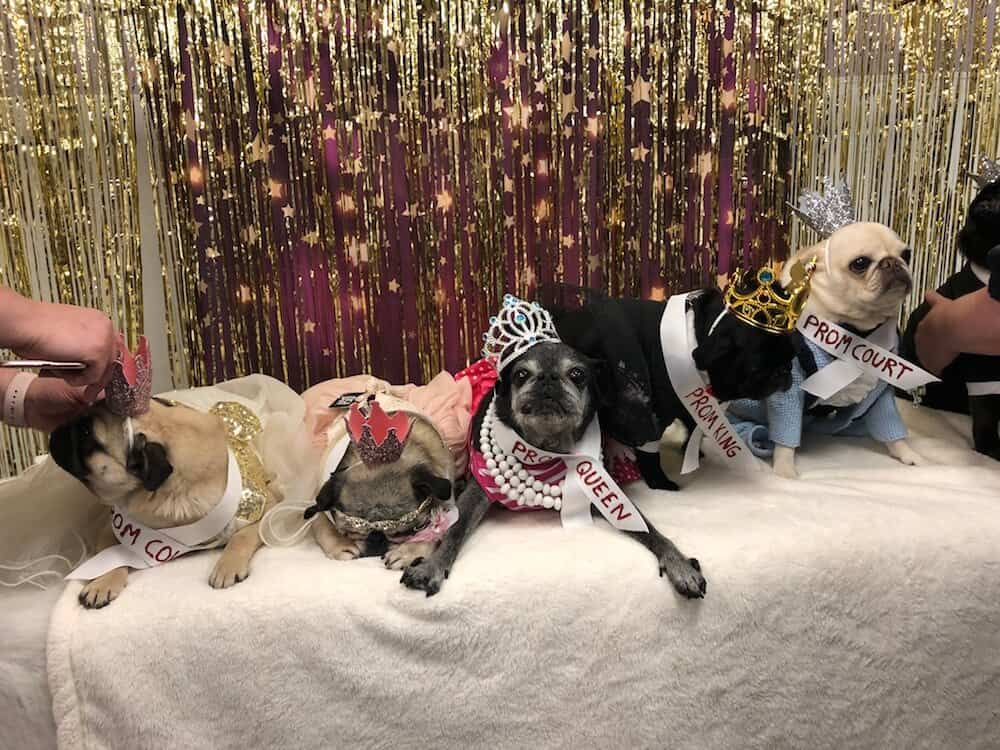 A group of pugs in tiaras and crowns pose for a photo.