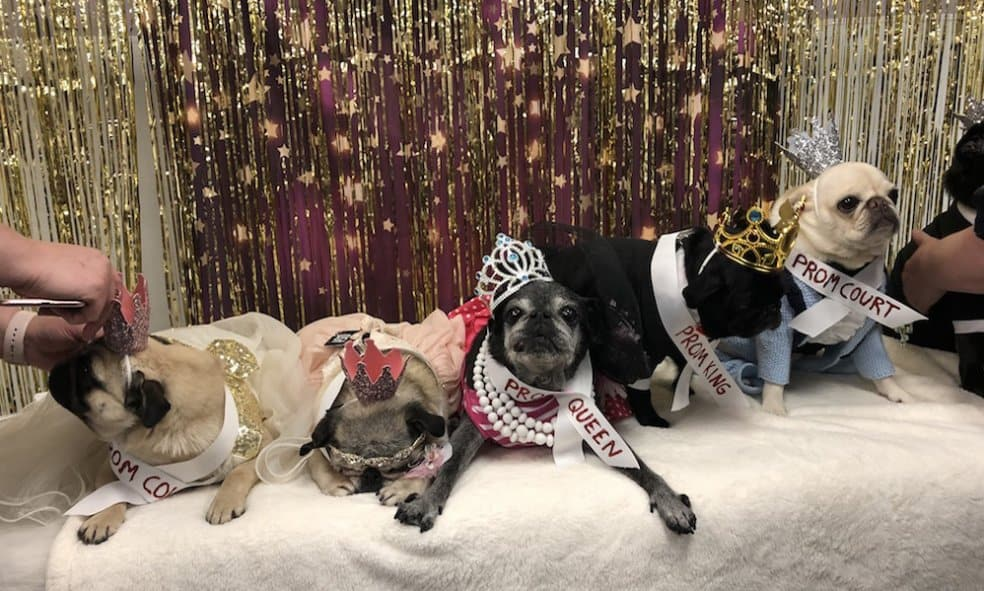 A bunch of pugs pose for a photo at pug prom.