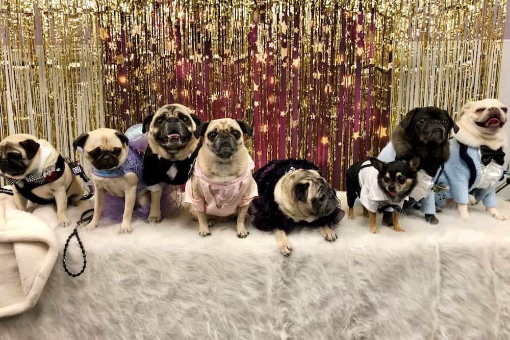 Seven pugs and one chihuahua pose for a photo.