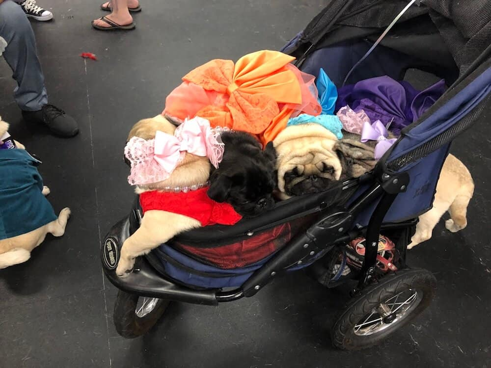 Four pugs in dresses asleep in a stroller.