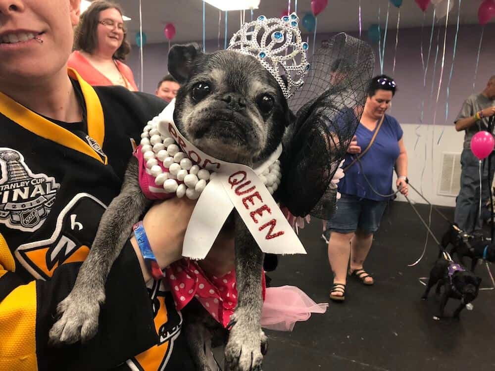A black pug in pearls and a dress wears a tiara and prom queen sash.