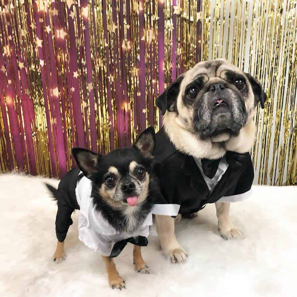 A pug and chihuahua dressed in tuxedos pose for a photo.