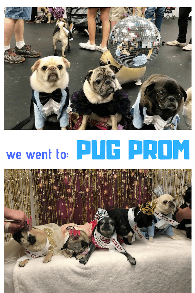 Pugs came together for a pug prom night to remember! They danced, mingled, and raised money for Pug Rescue of New England.