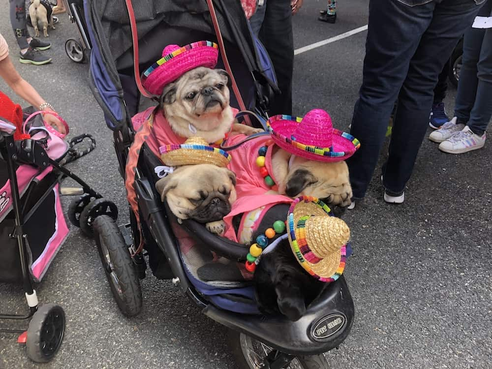 the pugdashians