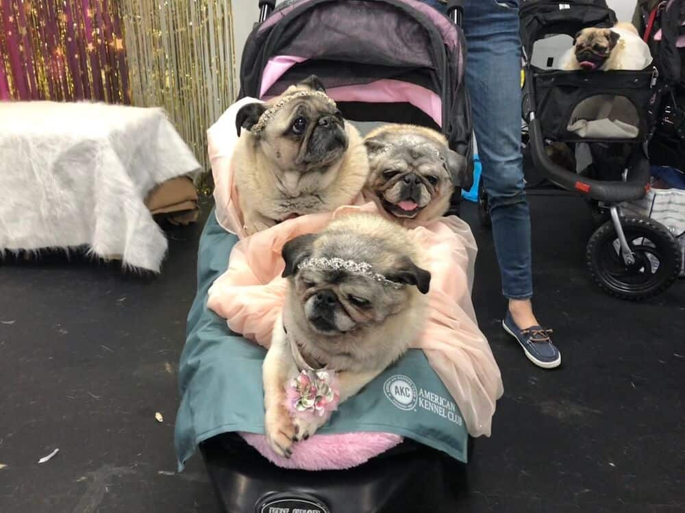Three pugs in prom dresses sit in a stroller.