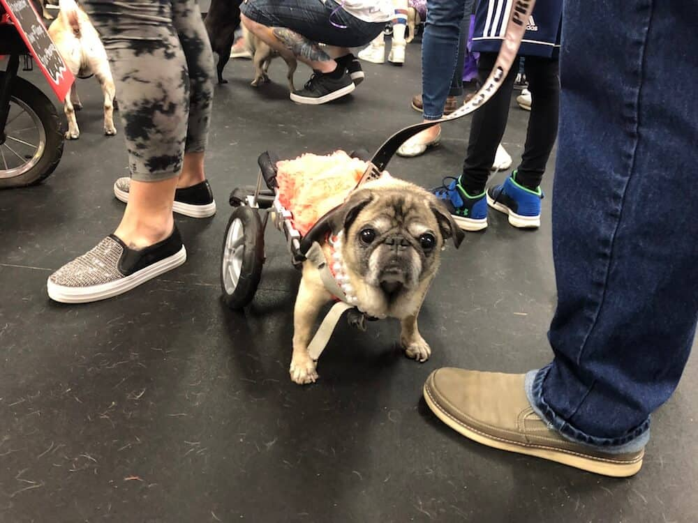 A pug in a wheelchair wears a prom dress.