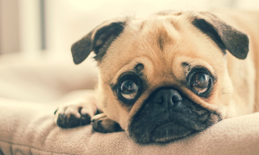 10 Things You Should Know Before Getting a Pug