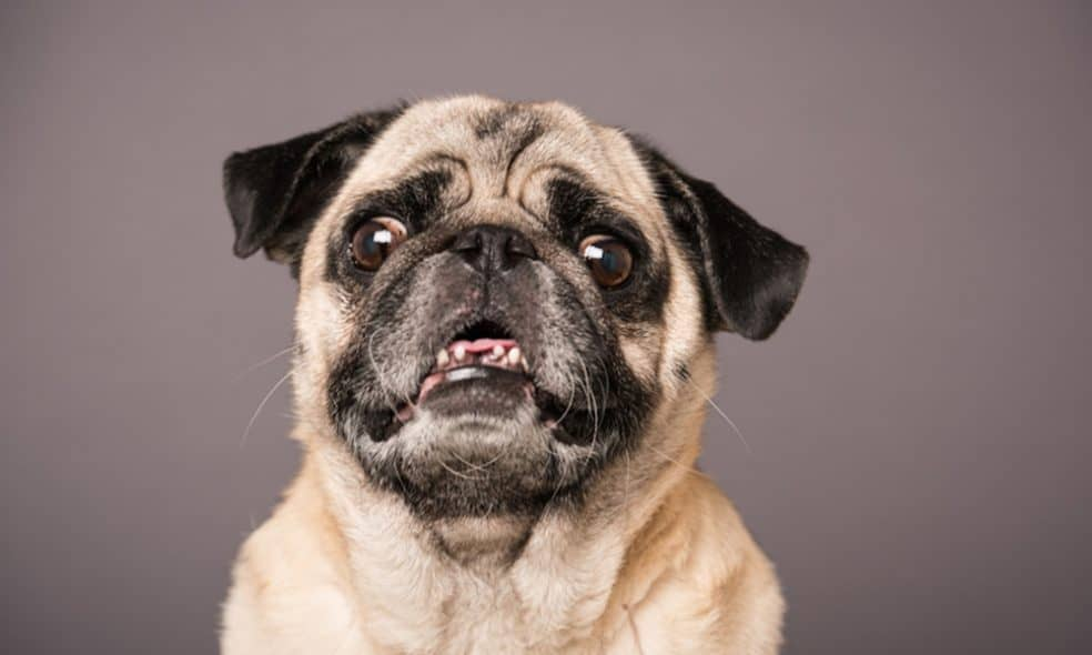10 things you should know before getting a pug.