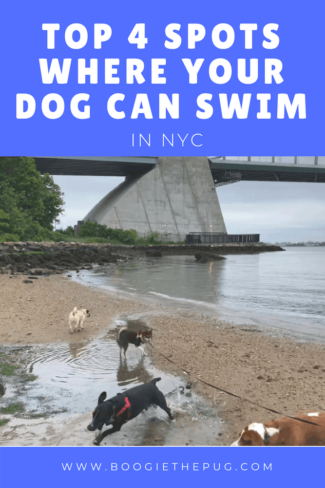 Living in the concrete jungle doesn't mean you have to go a whole summer without swimming. Here are the top 4 spots where your dog can swim in NYC.