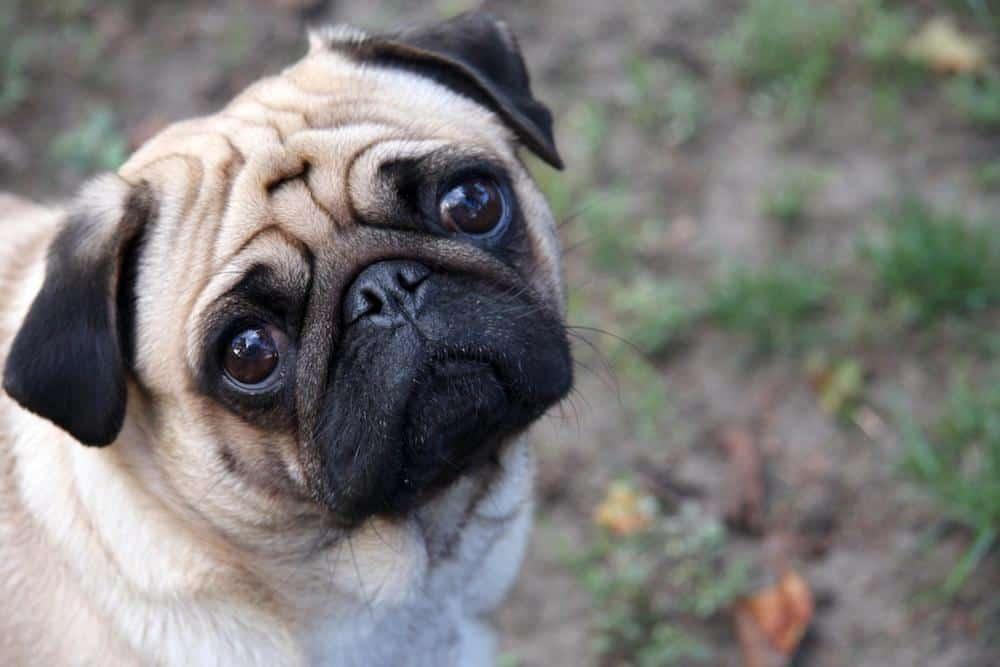 There's more to these lovable and charming little dogs than just good looks and sassy attitudes. Here are 10 fun facts about pugs.