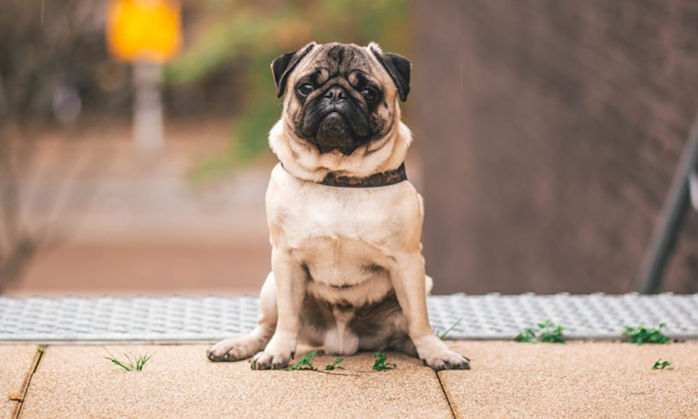 10 Fun Facts About Pugs