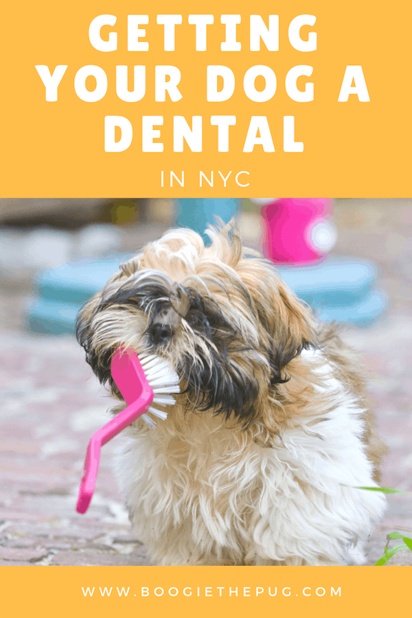 Getting Your Dog a Dental in NYC