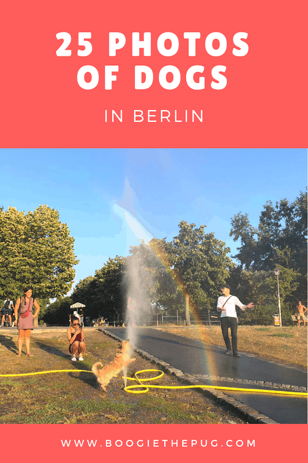 Berlin is incredibly dog-friendly, with their wide open streets, multiple parks, and laid back attitude. Here are 25 photos of dogs in Berlin.