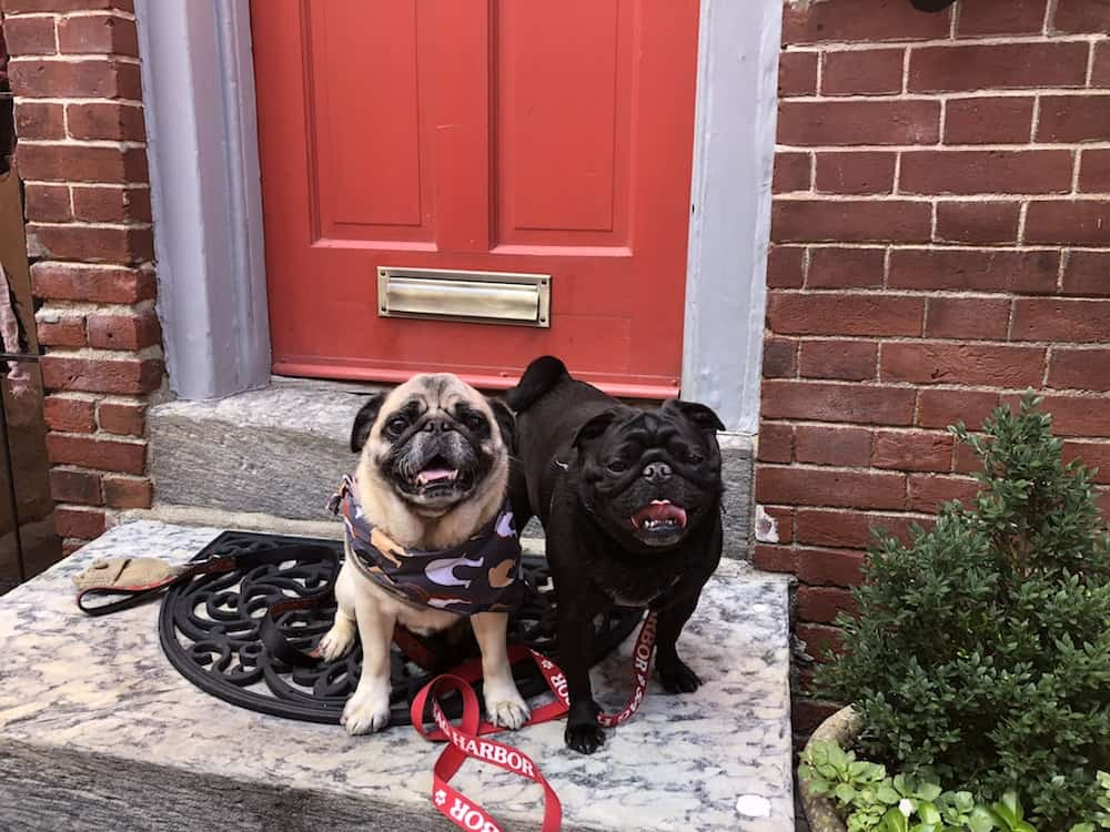 All About #PugsTakePhilly