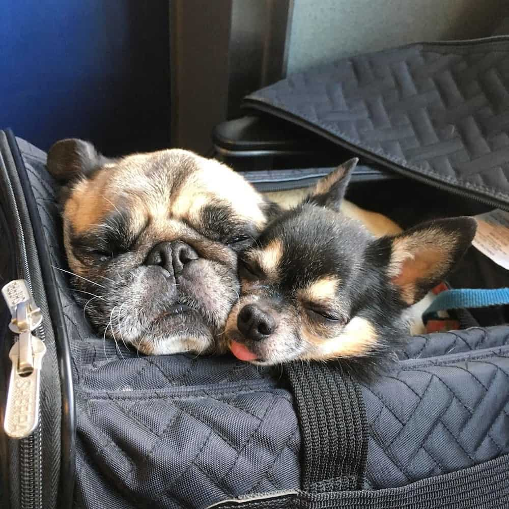 Tips for Plane Travel with Multiple Dogs