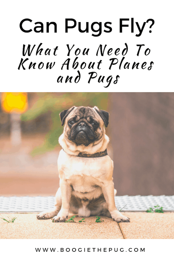 Can pugs fly? Here's the the low down on planes and pugs, and what you need to know before booking your next flight. Check it out!