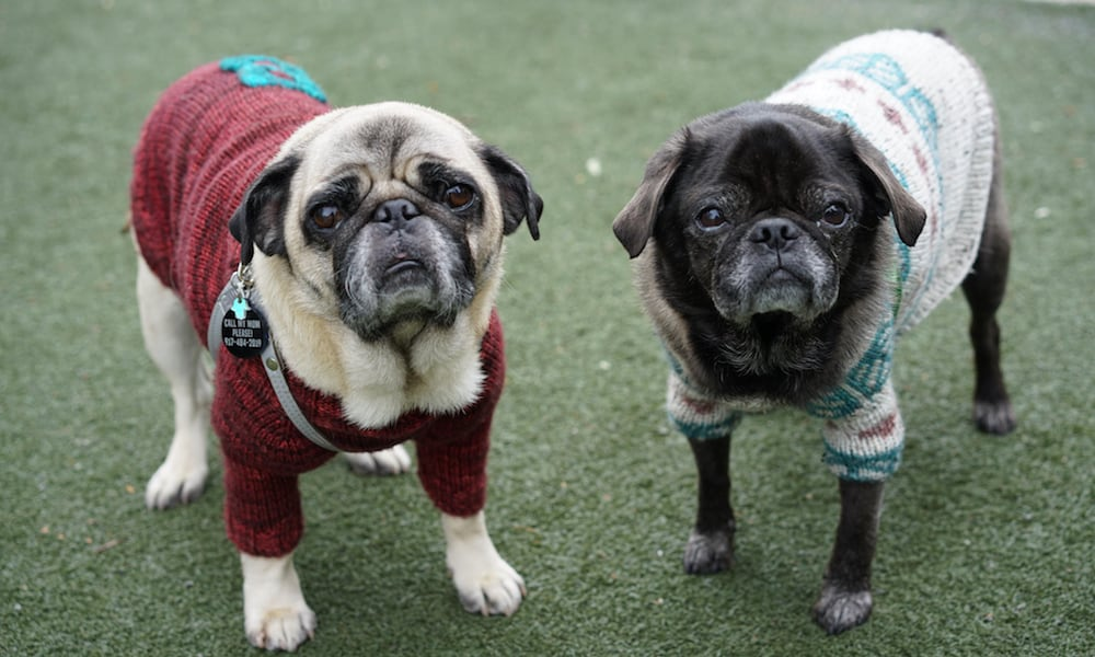 The Best Harness For Pugs: The Pug Community Weighs In
