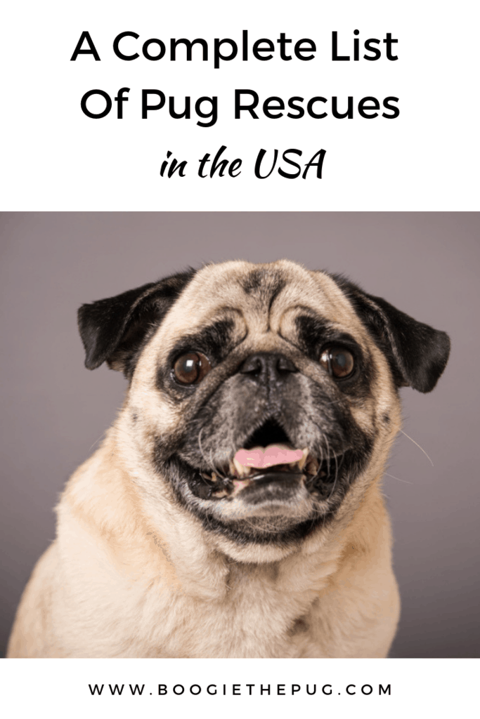 Want to add a pug to your family? There are almost 40 pug rescues across the USA! Rescuing is a great way to find a new furry friend and save a life.